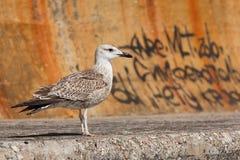 海鸥。 免版税图库摄影