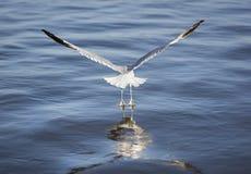 海鸥上升从哈得逊河的-接触水的蹼足 库存图片