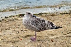 海鸥与它的头的海滨转动的om 免版税图库摄影