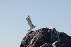 海鸥为起飞做准备 库存照片