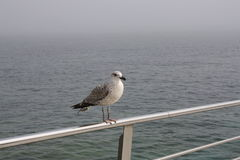 海鸥休息 免版税库存图片