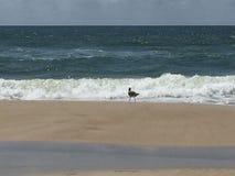 海鸥冲浪 库存照片