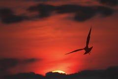 海鸥剪影在飞行中在日落 库存照片