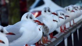 海鸥占领的积雪的桥梁在冬天期间 免版税库存照片