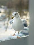 海鸥吃午餐在我的阳台 免版税库存照片