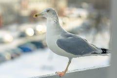 海鸥吃午餐在我的阳台 免版税图库摄影
