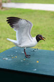 海鸥吃着芯片 库存照片