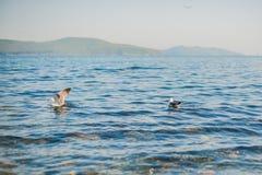 海鸥吃薄脆饼干 库存照片
