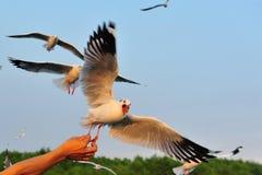 海鸥吃食物 库存照片