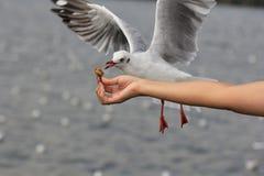 海鸥吃从妇女哺养的食物的鸟飞行 免版税图库摄影