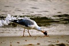 海鸥和一个螃蟹在海滩 免版税库存图片