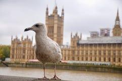 海鸥和在泰晤士河威斯敏斯特宫殿的背景中 图库摄影