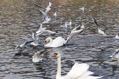 海鸥和天鹅在湖 免版税库存图片