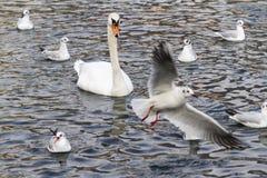 海鸥和天鹅在湖 库存照片