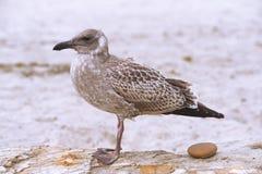 海鸥和岩石 库存图片