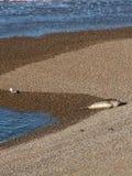 海鸥和海狮在海滩 库存照片