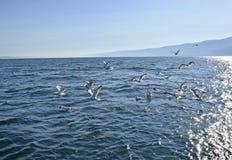 海鸥和贝加尔湖的看法 库存图片