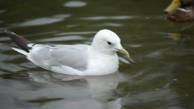 海鸥和野鸭鸭子在池塘水中 影视素材