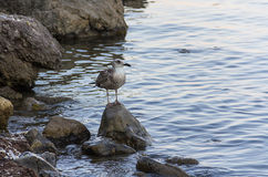 海鸥在一块高狭窄的石头站立在水中间海滩海 免版税图库摄影