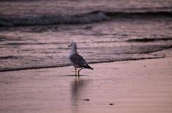海鸥在不可思议的海 免版税库存图片
