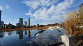 海鸥在东京日本上野公园  免版税库存图片