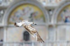 海鸥在圣马克` s大教堂附近飞行在威尼斯 库存图片