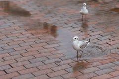 海鸥在城市 免版税库存图片