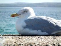 海鸥在夏天 免版税库存图片