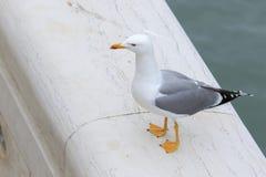 海鸥在大理石站立 图库摄影