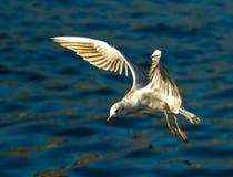 海鸥在天空中 免版税库存照片