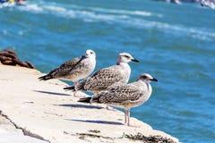 海鸥在威尼斯,意大利 免版税库存照片