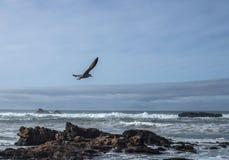 海鸥在岩石海岸的狩猎鱼 库存照片