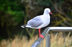 海鸥在新西兰 库存照片