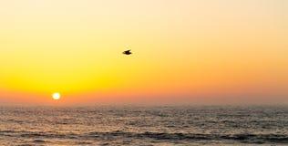海鸥在海洋上飞行在日落 库存照片