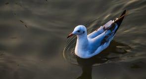 海鸥在海浮动 免版税库存图片