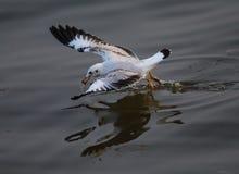 海鸥在海浮动 图库摄影