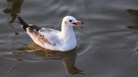 海鸥在海浮动 库存照片