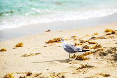 海鸥在海海滩走 免版税图库摄影