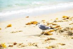 海鸥在海海滩走 免版税库存照片
