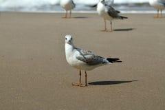 海鸥在海滩ЧаР¹ ка Ð晒黑·Ð°Ð ³ Ð ¾ раÐΜÑ 'Ð ½ а Ð ¿ Д ï ¿ ½ 免版税库存图片