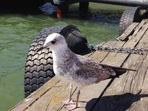海鸥在港口,赫尔辛基芬兰 免版税库存照片
