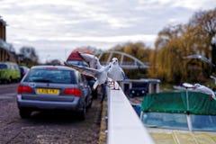 海鸥在看照相机的河旁边的城市 免版税库存照片