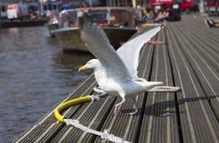海鸥在码头走 库存照片