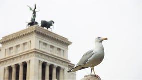 海鸥在罗马,关闭 股票视频