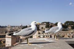 海鸥在罗马,意大利 库存照片
