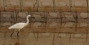 海鸥在美洲红树森林里在深圳 库存照片