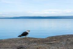 海鸥在蜜月湾,塔斯马尼亚岛 免版税库存照片