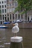 海鸥在阿姆斯特丹 免版税库存图片