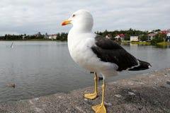海鸥在雷克雅未克。 库存照片