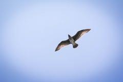 海鸥在飞行中反对与阳光的蓝天通过羽毛 免版税库存图片
